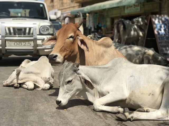 インドの牛